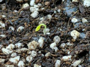 セロリ(セルリー)の芽がでた