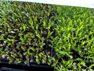 水菜の定植とスナップエンドウ支柱たて
