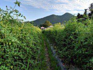 ソバージュ栽培でトマトトンネルになるサンマルツァーノリゼルバ